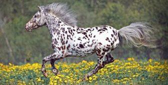 Аппалуза, постой лошадей в Подмосковье, конюшня, аренда денников для лошадей, прокат лошадей в Подмосковье, уроки верховой езды, обучение верховой езде в Подмосковье, покататься на лошадях в Подмосковье, конные прогулки, прогулки на лошадях