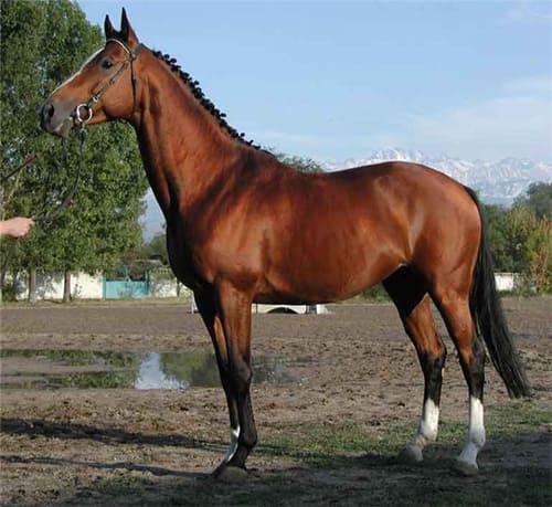 Чистокровная верховая лошадь, постой лошадей в Московской области, прокат лошадей в Подмосковье, обучение верховой езде в Подмосковье, покататься на лошадях в Подмосковье
