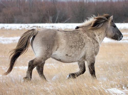 Якутская лошадь, постой для лошадей в Подмосковье, конюшня, аренда денников для лошадей, прокат лошадей в Подмосковье, уроки верховой езды, обучение верховой езде в Подмосковье, покататься на лошадях в Подмосковье, конные прогулки, прогулки на лошадях