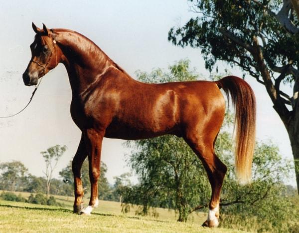 Арабская чистокровная лошадь, постой лошадей в Московской области, аренда денников для лошадей, прокат лошадей в Подмосковье, уроки верховой езды, обучение верховой езде в Подмосковье, покататься на лошадях в Подмосковье, конные прогулки, прогулки на лошадях