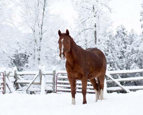 Уход за лошадью зимой, постой для лошадей в Подмосковье, конюшня, аренда денников для лошадей, прокат лошадей в Подмосковье, уроки верховой езды, покататься на лошадях в Подмосковье, конные прогулки, прогулки на лошадях