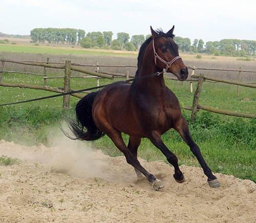 работа лошади на корде, постой для лошадей в Подмосковье, конюшня, аренда денников для лошадей, прокат лошадей в Подмосковье, уроки верховой езды, покататься на лошадях в Подмосковье, конные прогулки, прогулки на лошадях
