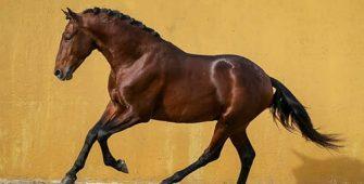 альтер-реал порода лошади, постой для лошадей в Подмосковье, конюшня, аренда денников для лошадей, прокат лошадей в Подмосковье, уроки верховой езды, покататься на лошадях в Подмосковье, конные прогулки, прогулки на лошадях