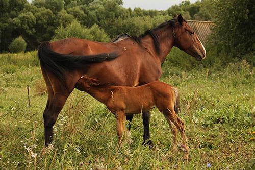 отлучение жеребёнка от кобылы, постой для лошадей в Подмосковье, конюшня, аренда денников для лошадей, прокат лошадей в Подмосковье, уроки верховой езды, покататься на лошадях в Подмосковье, конные прогулки, прогулки на лошадях в Подмосковье