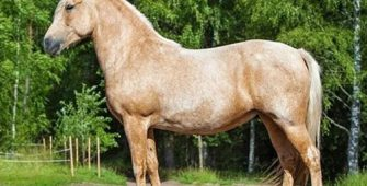 белорусская упряжная, постой для лошадей в Подмосковье, конюшня, аренда денников для лошадей, прокат лошадей в Подмосковье, уроки верховой езды, покататься на лошадях в Подмосковье, конные прогулки, прогулки на лошадях в Подмосковье